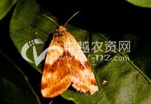 麻田苜蓿夜蛾