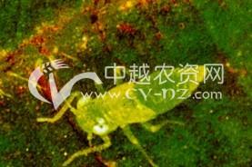 麻田棉叶蝉