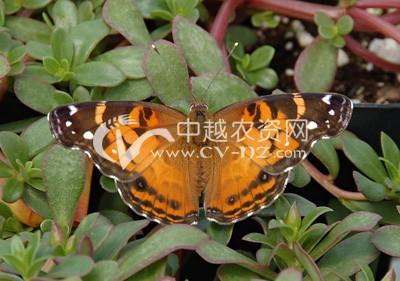 苎麻赤蛱蝶