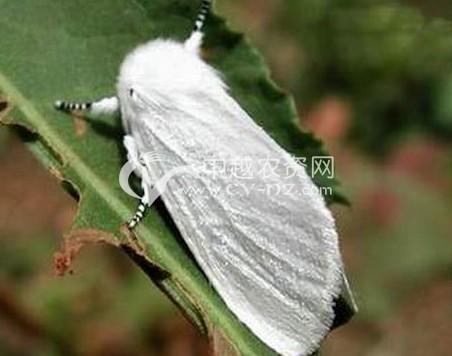 桑树美国白蛾