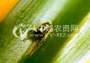 桑树桑国绿盲蝽