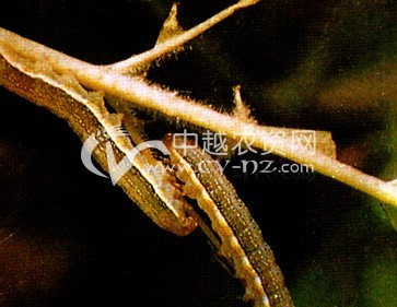 桑树红棕灰夜蛾