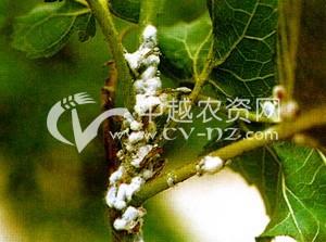 桑树皑粉蚧