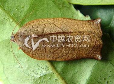 桑树桑园黄卷叶蛾