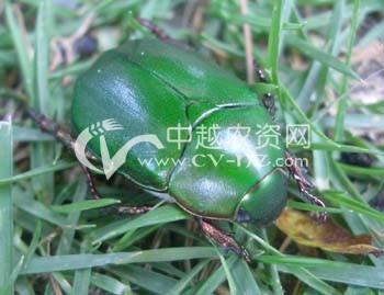 桑树黑绒金龟和铜绿金龟