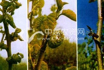 桑树低温障碍