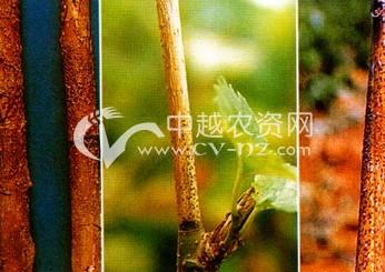 茶树芽枯病