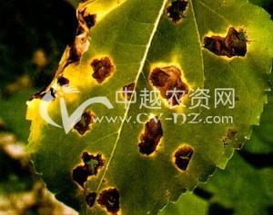 向日葵细菌性叶斑病