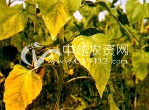 向日葵黄萎病