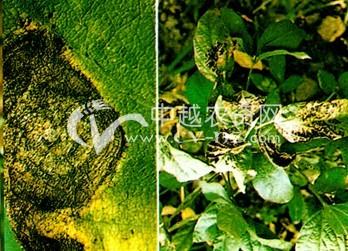 大豆链格孢黑斑病