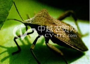 豆类斑背安缘蝽