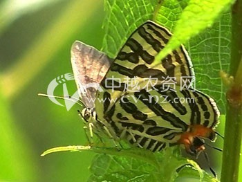 豆类豆灰蝶