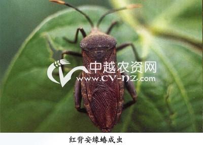 豆类红背安缘蝽
