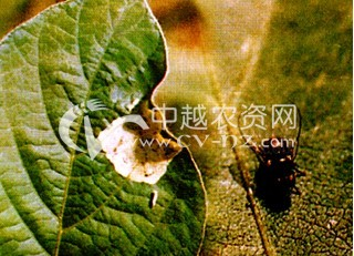 豆类豆叶东潜蝇