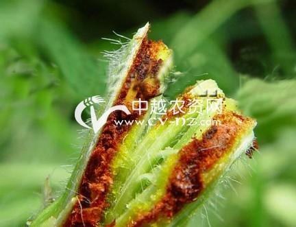 豆类豆秆黑潜蝇
