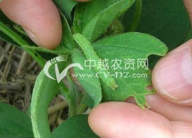 豆类豆田棉铃虫