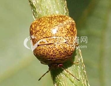 豆类筛豆龟蝽