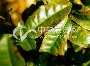 茶树炭疽病