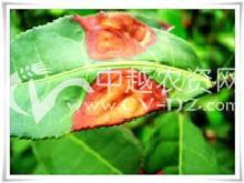 茶赤叶斑病