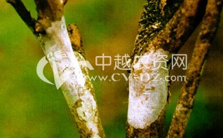 茶树膏药病