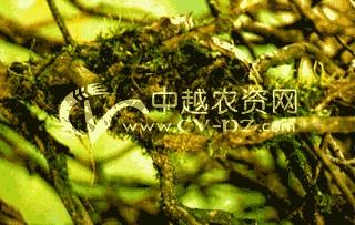 茶树地衣和苔藓