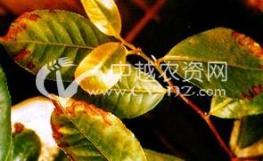 茶树缺素症