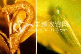 茶树假眼小绿叶蝉