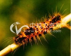 茶树折带黄毒蛾