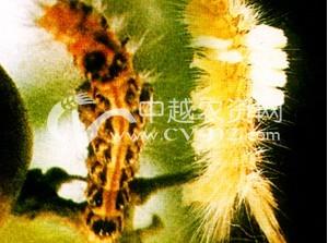茶树台湾黄毒蛾
