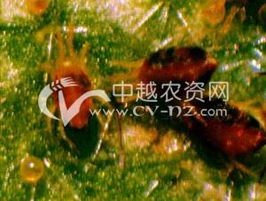 茶树神泽氏叶螨