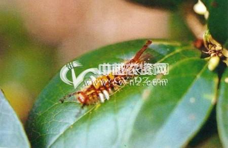 茶树小白纹毒蛾