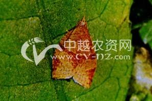 茶树茶小卷叶蛾