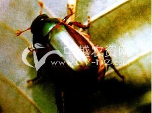 茶树茶园金龟甲