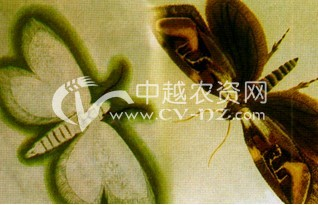 茶树茶木蛾