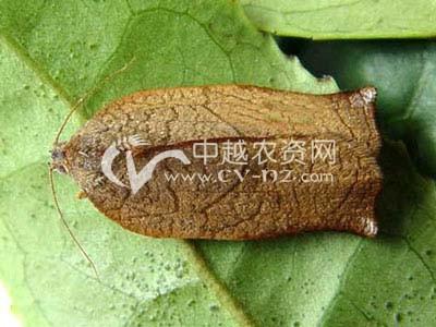 茶树茶长卷叶蛾