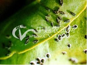 茶树黑刺粉虱