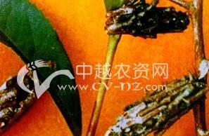 茶树茶蓑蛾