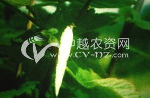 茶树白囊蓑蛾