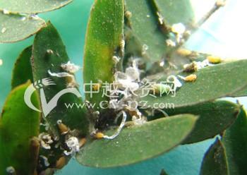 茶树茶褐蓑蛾