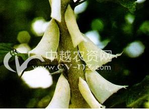茶树白蛾蜡蝉