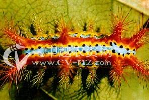 茶树桑褐刺蛾