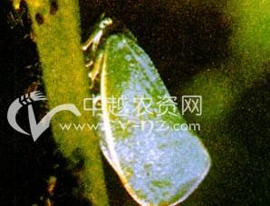 茶树茶蛾蜡蝉