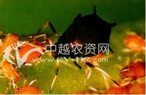 茶树茶二叉蚜