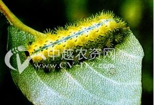 茶树褐边绿刺蛾