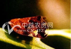 茶树八点广翅蜡蝉