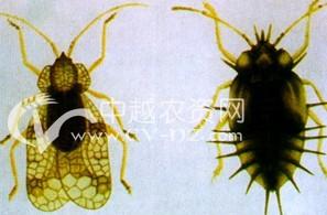 茶树茶网蝽