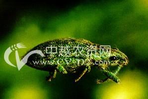 茶树绿鳞象甲