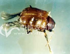 茶树茶角胸叶甲