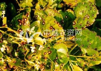 三七(田七)炭疽病