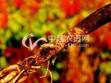 黄芪根腐病
